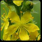 Agrimonia flores de bach