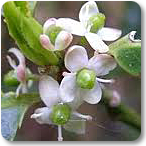 acebo flores de bach