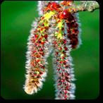 aspen flores de bach