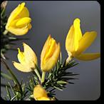 aulaga flores de bach