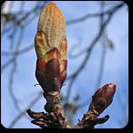 brote de castaño flores de bach