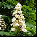 castaño blanco flores de bach