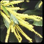 castaño dulce flores de bach