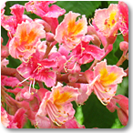 castaño rojo flores de bach