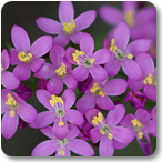 centaura flores de bach