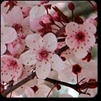 cerasifera flores de bach