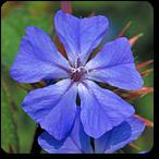 cerato flores de bach