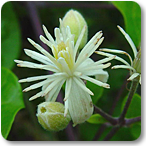 clematide flores de bach