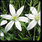 estrella belén flores de bach