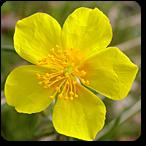 heliantemo flores de bach