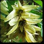 hojarazo flores de bach
