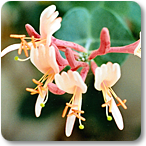 madreselva flores de bach