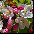 manzano silvestre flores de bach