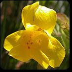 mimulus flores de bach