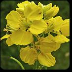 mostaza flores de bach