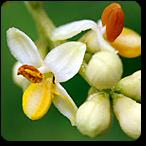 olivo flores de bach