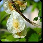 olmo flores de bach