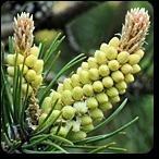 pino flores de bach