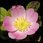 rosa silvestre flores de bach