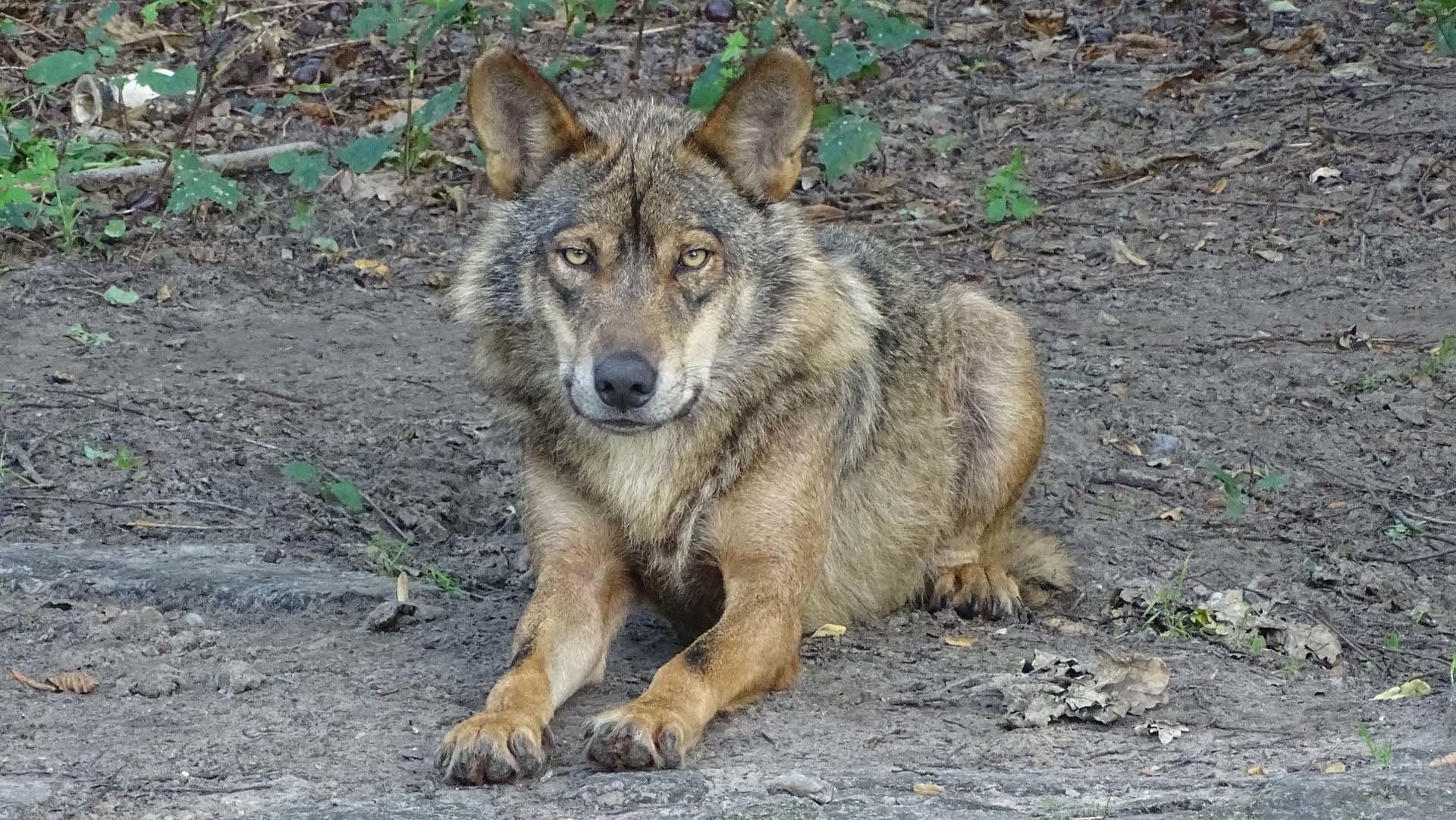 ataques lobos galicia