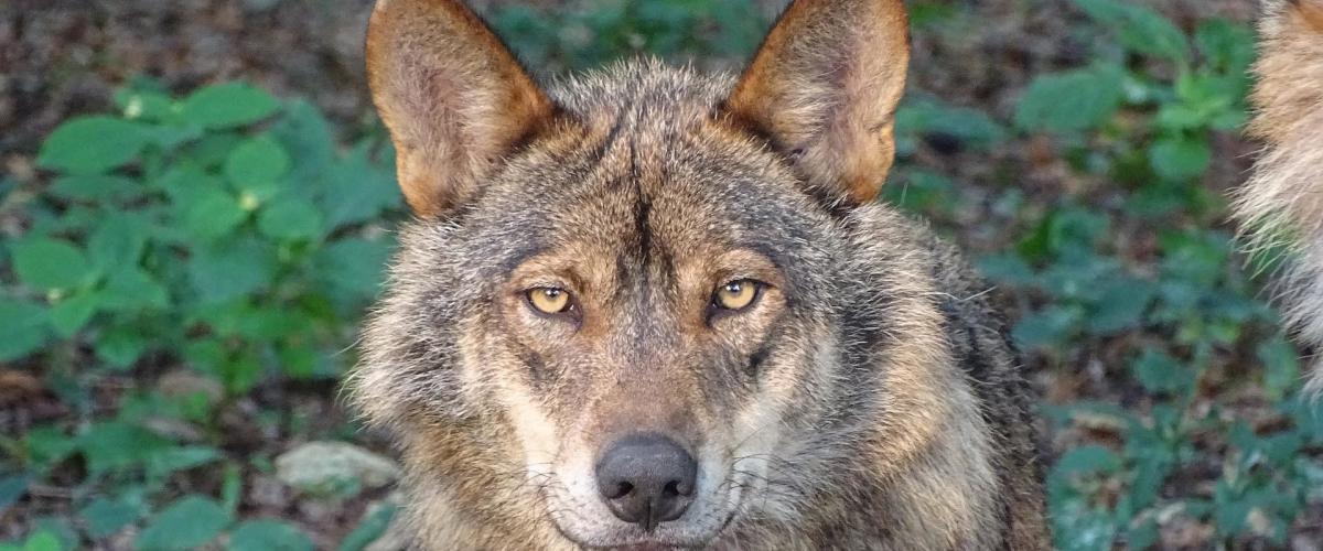lobos en galicia