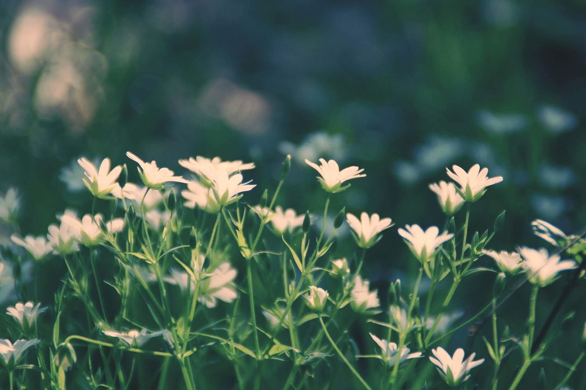 celtas plantas