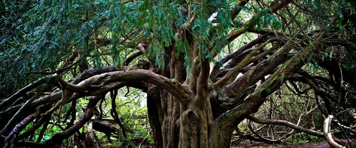 árbol tejo