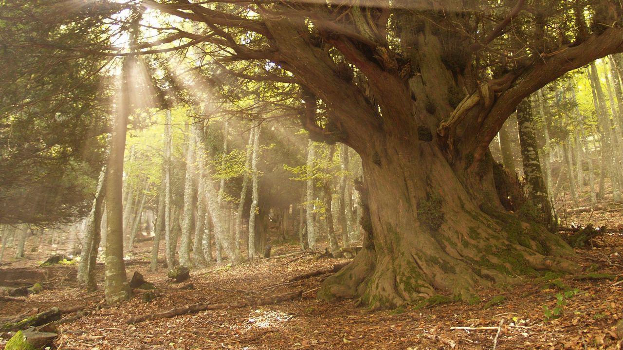 tejo árbol