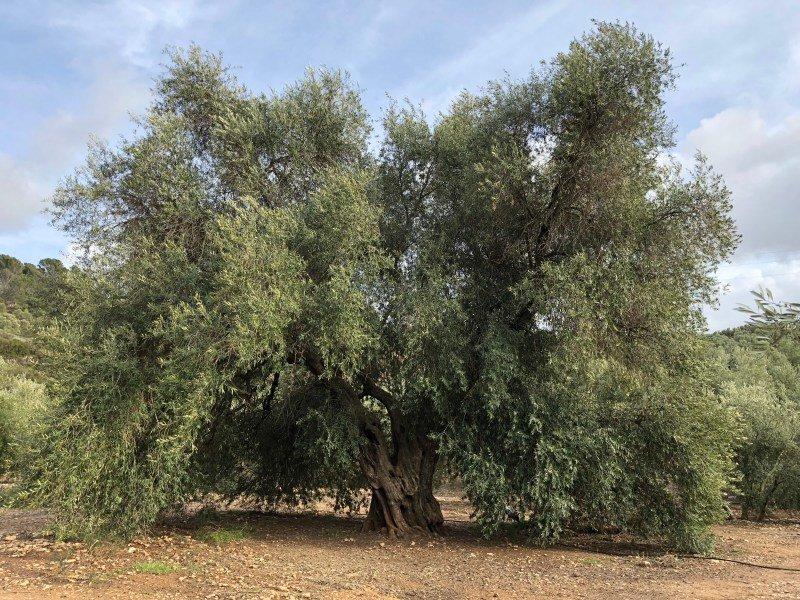 olivo de fuentebuena jaén