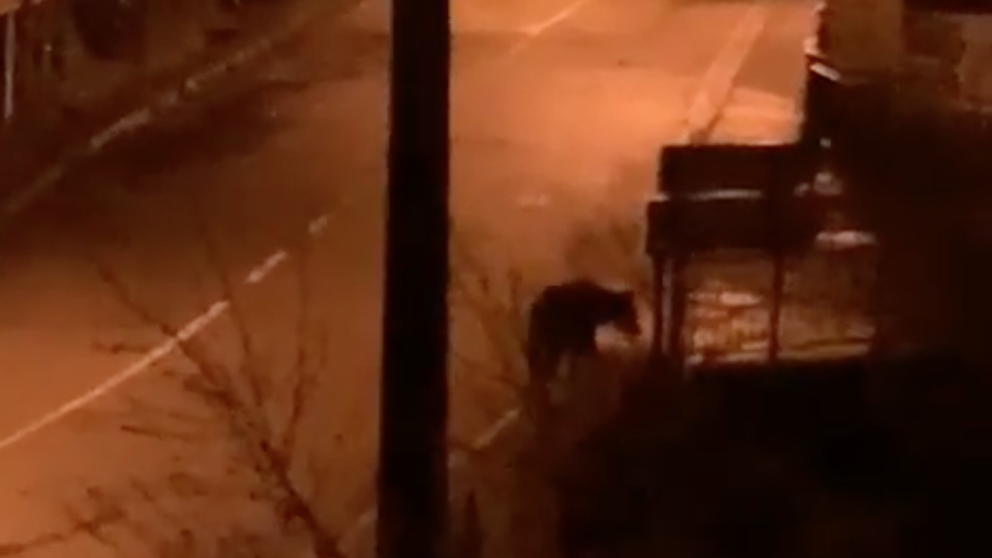 osos en asturias por confinamiento